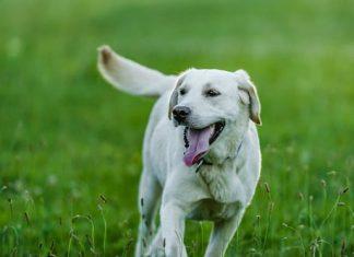 Does coat color matter when choosing Labrador Retriever dog
